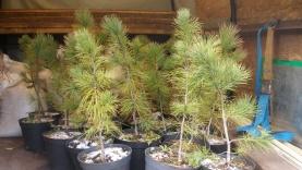 В пермских городских лесах высаживают кедры и лиственницы